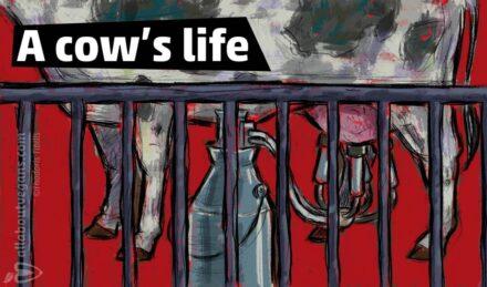 Η ζωή μιας αγελάδας